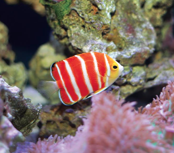 Peppermint Angel Fish